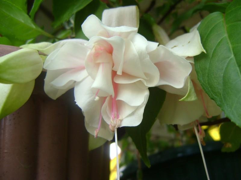 pink-marshmallow