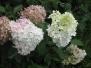 Гортензии - калейдоскоп цветов
