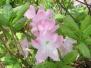 Мои листопадные Рододендроны