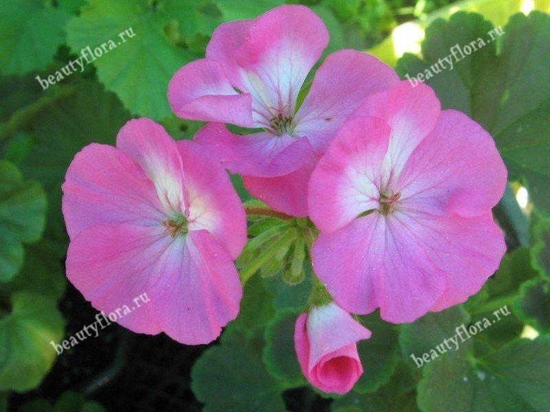 black-velvet-rose-1