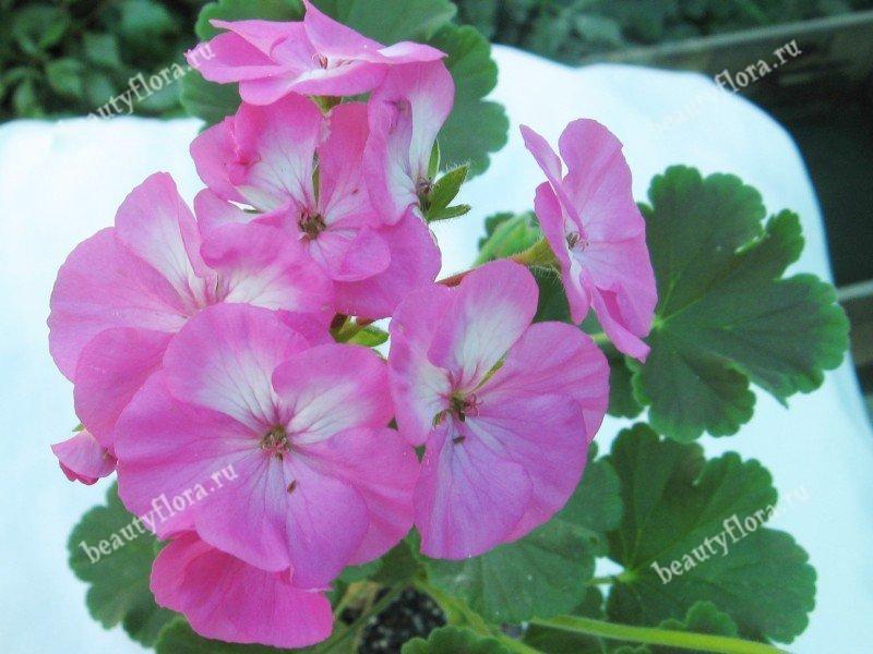 black-velvet-rose-2