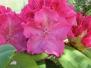 Рододендроны вечнозеленые  в моем саду
