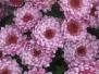 Хризантемы - последние краски лета