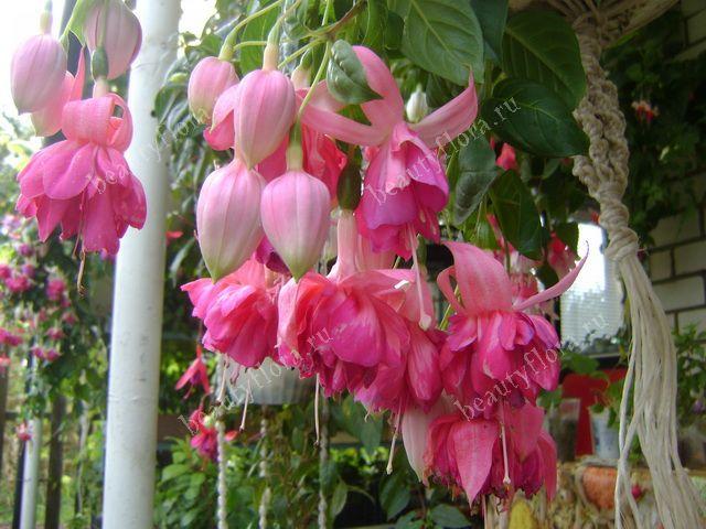 комнатные цветы фуксия уход