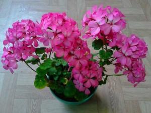 Пеларгония-карликовая-розовая