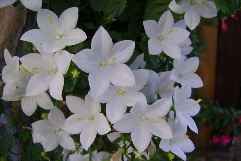 Уличный цветок невеста фото