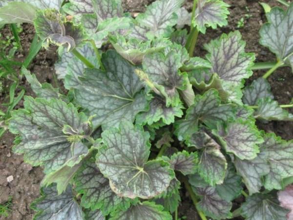 Хвойные садовые растения просмотров