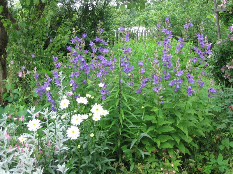 Виды садовых колокольчиков