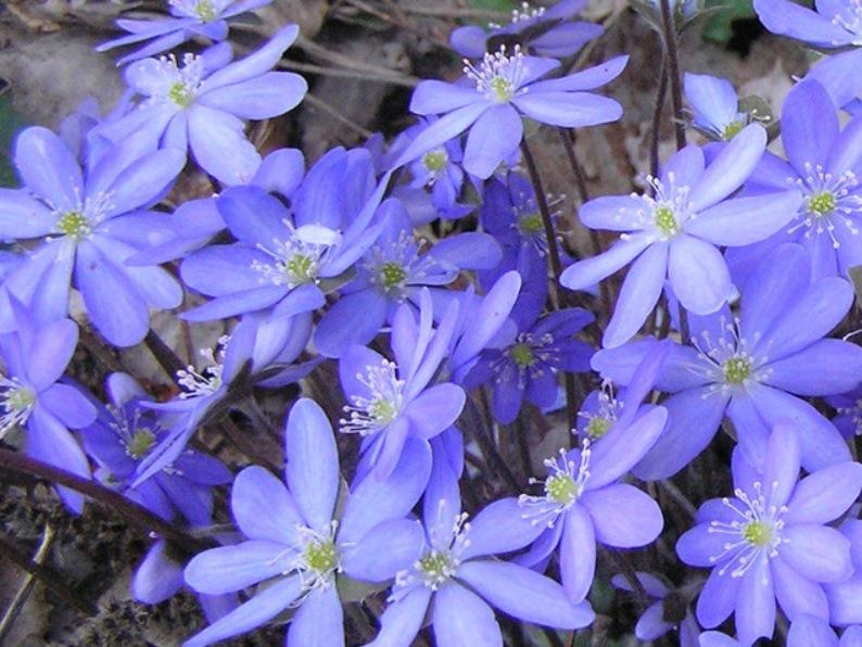 цветов печеночница