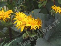 Бузульник Отелло (Ligularia Othello)