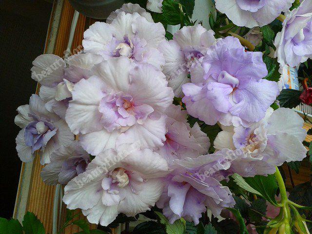 Цветы ахименесы адрес купить рукоделие подарок мужчине