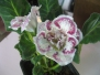 Бархатная глоксиния- неженка и красавица