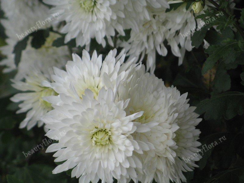 white-14