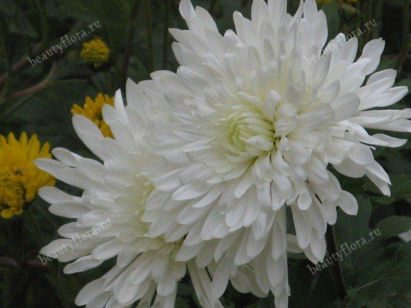 white-15