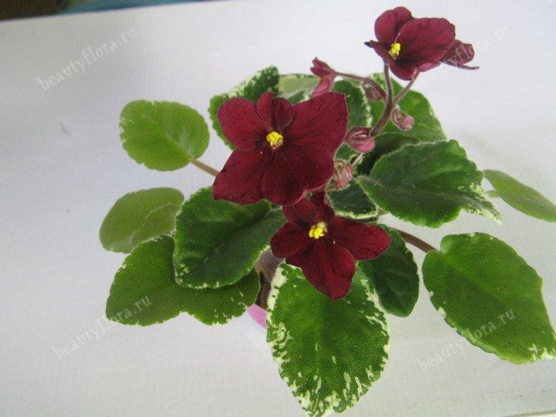 macs-oscarlet-ohara-2