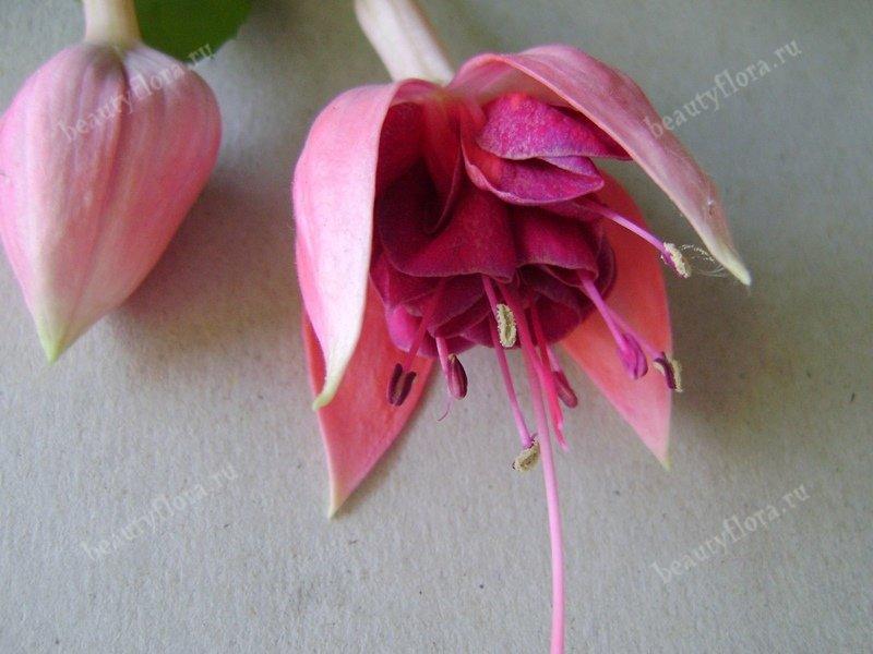 medards-tiecelijn