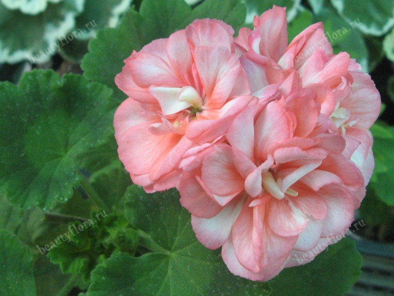 exotica-appleblossom-5082013-1