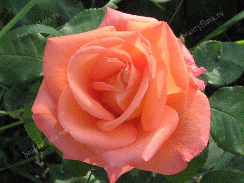 rosa-pink640-2