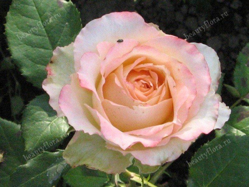 rosa-pink640-3
