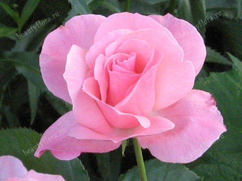 rosa-pink640