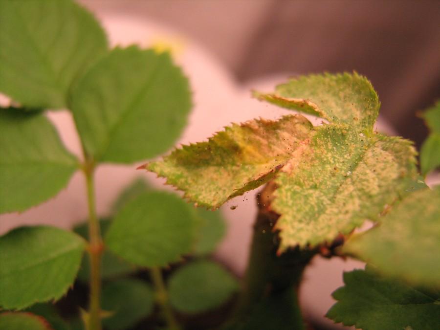 Чем вылечить розу от паутинного клеща в домашних условиях 626