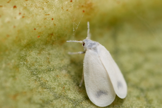 Aleyrodidae01