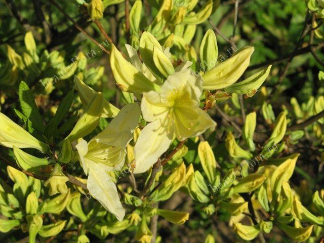 rododendron listopadniy