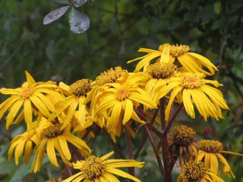 Секреты успешного выращивания бузульника посадка и уход в саду