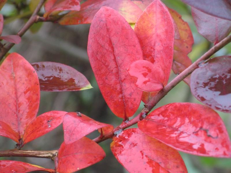 как диван, красные листья у голубики фото печать ваши фотографии