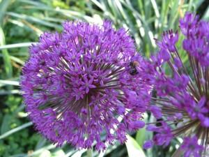 Лук Purple Sensation