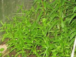 лилии из чешуек