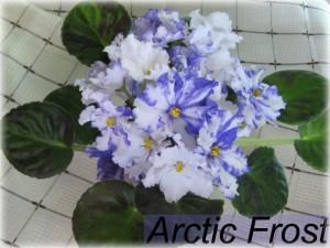 Arctic Frost1