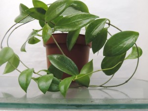 Хойя Camphorifolia
