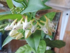 Хойя Multiflora