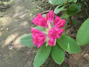 вечнозеленые рододендроны