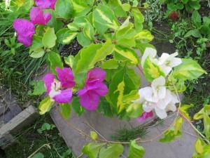 Pixie-Queen-pink-flower-