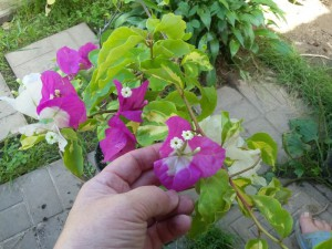 Pixie Queen (pink flower)