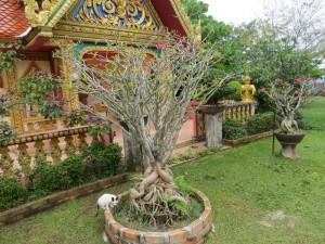 Адениумы у храма, Таиланд