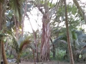 Баньян священное дерево