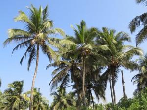 Пальмы Индия