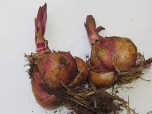 луковица лилий с ростками