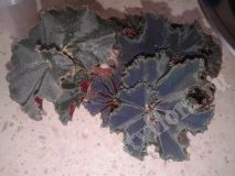Begonia Black Fang