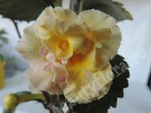 Ахименес Yellow English Rose