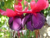 Фуксия Rohees King
