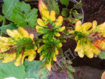 Колеус Kingswood Karnival