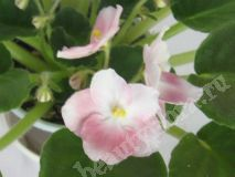 Фиалкa Blushing Bride maid